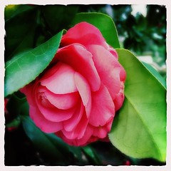 Camellia (Kindle Girl) Tags: pink italy rome flower cemetary springbreak iphone iphonemacro iphone365 iphoneography hipstamatic