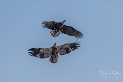 Juvenile Bald Eagle tries to steal away a fish - sequence - 3 of 9