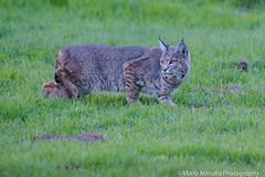 Bobcat (fascinationwildlife) Tags: california winter wild usa nature field animal america cat mammal feline wildlife natur central shy rufus valley elusive bobcat lynx luchs rotluchs