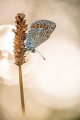 Hauhechel-Bluling (Polyommatus icarus)_Q22A8063-BF (Bluesfreak) Tags: lepidoptera schmetterlinge polyommatusicarus hauhechelbluling tagfalter