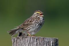 Savannah sparrow (Phiddy1) Tags: ontario canada birds sparrow savannahsparrow cardenalvar