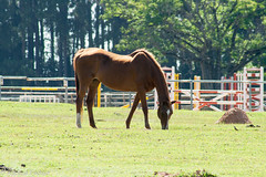 af0712-7078 (Adriana Füchter) Tags: filter friese fries horse friesische ameland cheval chevaux caballo equine equines professionalequineimages cavalos cavalo equino rural lone natures beauty brazil brasil pastando pastagem animal