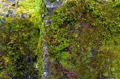 Stone ,Moss & Lichen 3 of 3 (Orbmiser) Tags: winter rock stone oregon portland moss nikon lichen d90 55200vr
