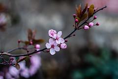 IMG_3530IMG_3530bis3 (::nicolas ferrand simonnot::) Tags: street paris flower zeiss vintage lens photography prime bokeh 10 jena carl m42 f2 58mm blades | 2016 biotar carlzeissjena