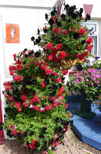 Black and red petunias as a tribute to AFC Bournemouth reaching the Premier League by Mrs Jean Willis