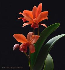 DSC_9260 (emmay94) Tags: red orange fire short cattleya growing easy compact bight