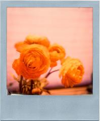 Ranunkel-Spring-Pola (Thomas Remme) Tags: flower color film analog polaroid ishootfilm instant blume ranunkel polaroidsx70 filmisnotdead silverframe sofortbild canoscan8800f imposiblefilm