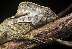 C. cristatus (antonsrkn) Tags: wild portrait nature animal night forest outside outdoors natural reptile belize wildlife basin lizard jungle iguana scales biology sanctuary herp cockscomb biodiversity zoology herpetology scaly helmeted corytophanescristatus corytophanes oldmanlizard