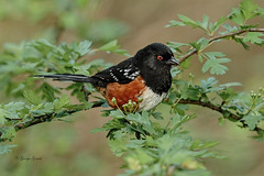 Spotted Towhee (Photos_By George) Tags: towhee birds spottedtowhees songbirds canon7dmkii 500views 30faves