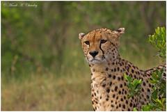The Attentive Mamma! (MAC's Wild Pixels) Tags: kenya ngc cheetah wildcats wildafrica cheetahfamily fabuleuse femalecheetah maasaimaragamereserve malaikathecheetah spottedfeline macswildpixels theattentivemamma
