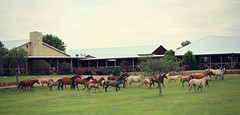Home Sweet Home (It Feels Like Rain) Tags: horses horse texas westtexas homesweethome equine noplacelikehome aqha americanquarterhorseassociation bandofmares