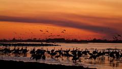 An Evening with Cranes (A.B.B) Tags: nebraska migration sandhillcranes platteriver rowesanctuary
