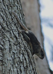 Flying Squirrel (susanmbarlow) Tags: animal flying squirrel wildlife photograph delaware rodentia sciuridae whiteclaycreekstatepark glaucomys judgemorrisestate chestnuthilltrail