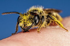 Looking for Warmth (Dalantech) Tags: macro insect finger bee pollen topaz macrophotography minerbee topazlabs
