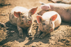 Posing pigs (Asquiff) Tags: light portrait baby animal animals pig fuji dof mud bokeh farm dirt pigs fujifilm shallow piglets 56mm xt1
