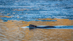 Castor / American Beaver [Castor canadensis] (Curculion) Tags: ca canada qubec mammals rodents qc mammalia rodentia montrgie chordata eutheria tetrapoda rongeurs mammifres saintjeansurrichelieu theria castoridae smcpentaxfa250600mmf56edif rodentiens lehautrichelieu pentaxk3ii pentaxsmcpfa250600mmf56edif baiedellesaintemarie castoramericanbeavercastorcanadensis
