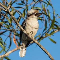 Old Favourite (gecko47) Tags: bird brisbane kingfisher laugh kookaburra dacelonovaeguineae laughingkookaburra oxleycreekcommon bushalarmclock