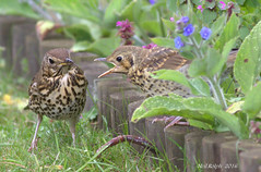 Song Thrushes (neil.rolph) Tags: ong thrushesgardenwormsuffolkfledgling
