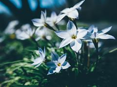 * (t*tomorrow) Tags: flower olympus  omd em10 1442mm