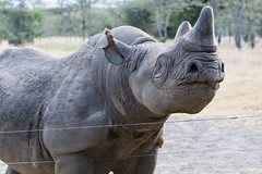 Baraka the blind black rhino (Marion's pics) Tags: blackrhino baraka