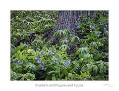 Bluebells and Poppies and Apples (baldwinm16) Tags: nature forest woodland season illinois spring woods il april wildflowers bluebell celandinepoppy mayapple omot themortonarboretum natureofthingsphotography