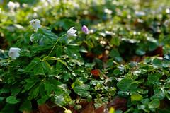 Buschwindrschen - 29-2016_Web (berni.radke) Tags: flower anemone bloom wald ranunculaceae bloosom buschwindrschen anemonenemorosa windflower blhen windrschen forestflowers hahnenfusgewchse