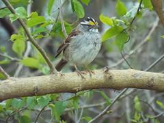 White-Throated Sparrow, April 1, 2016 (gurdonark) Tags: bird nature birds texas wildlife sparrow preserve murphy timbers whitethroated