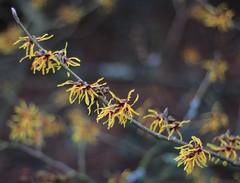 Hamamelis x intermedia - Arboretum Kalmthout (stephenmid) Tags: belgium kalmthout
