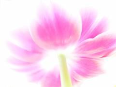 Searching for Soul II/III (broombesoom) Tags: flower rose germany deutschland flora blossom pastel natur pflanze rosa whitebackground tulip highkey blume blte allemagne ros tulpe searchingforsoul greenscene weiserhintergrund diesuchenachderseele