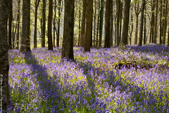 (Claire Hutton) Tags: uk blue trees tree green landscape carpet countryside spring woods shadows purple dorset april coverage thick 2016 bulbarrow sonyrx100ii