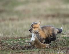 Take the Bunny and Run! (T0nyJ0yce) Tags: wild baby cute rabbit bunny animals fox kit foxes carnivore silverfox redfox specanimal tamron150600