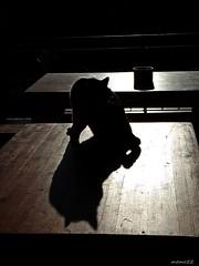 gatto di Romena (casentino Arezzo Toscana) Italy (memo52foto) Tags: cats cat chats chat ombre katze gatto katzen gatti casentino arezzo felici romena animalidomestici pievediromena