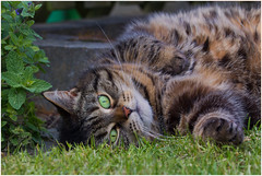Ready for a catnap in the catnip (FocusPocus Photography) Tags: pet animal cat chat gato catnip katze cleo haustier tier katzenminze