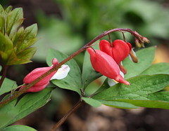 Bleeding Heart (pilechko) Tags: red plant color green yard garden spring nj bleedingheart lambertville