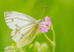 Spring icon (Francesco Ganzetti) Tags: flower green art nature colors beautiful grass closeup composition butterfly countryside spring eyes focus natural bokeh delicate natures naturemasterclass