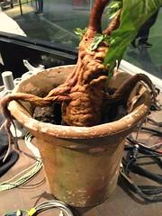 Mandrake (funeralface) Tags: watford london tour wbstudios hogwarts harrypotter mandrake