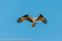 _DSC4799.jpg (orig_lowolf) Tags: usa dog nature oregon nikon flickr osprey lakeoswego turkeyvulture d300s sigma150500mmf563afapodgoshsmtelephotozoom