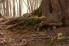 Primeval (Sarah Hina) Tags: fern forest spring woods roots primeval