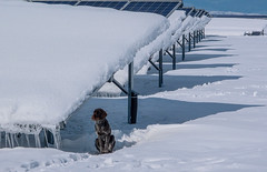 watchdog in solar park (Ralf Pelkmann) Tags: park blue winter dog snow ice solar energy watch guard bulgaria panels pv photovoltaic
