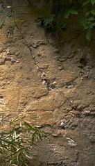 Vine (Padmacara) Tags: plant wall vine g11 shadowlight