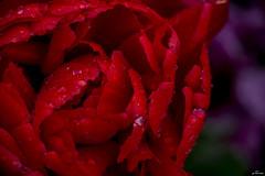 red (yasar metin) Tags: life light plant flower macro art love field canon photography fotograf photographer blossom o outdoor secret islam ngc trkiye plan an serene cami amateur depth evren turk steppe hayat trk insan huzur gece camii ak sevgi metin sanat kalp vatan ruh fotoraf arka renkler aga greatphotographers 600d istek yaar ayrlk mutluluk ihtiyarlk krehir inan amatr kulliye kamak kainat aray ka inziva kirsehir varlk kitab anlamak kaybolmak bulmak inanmak istemek ahievran ahievren yaarmetin grnn