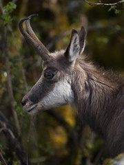 L'appel de la fort (Titole) Tags: female wildlife profile jura profil chamois titole nicolefaton