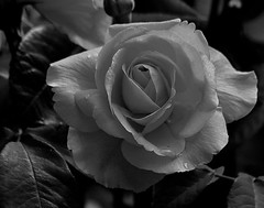 April23image5327bw2 (Michael T. Morales) Tags: flowers rose garden buds rosebuds