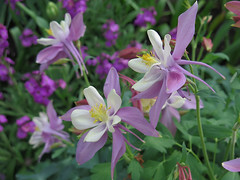 Columbine at Longwood (qt flickr) Tags: longwoodgardens spring2016