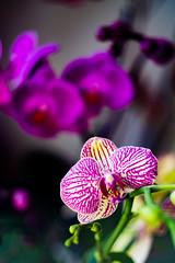 Phaleanopsis sonata (George Fournaris) Tags: orchid orchids phalaenopsis helios 81n