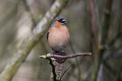 Chaffinch Posing. (Ed Swift) Tags: bird fauna canon scotland wildlife fringillacoelebs chaffinch motherwell rspb baronshaugh 7d2 kenkopro300dgx