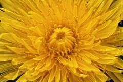 Heart of Dandelion - Coeur de pissenlit (Sbastien Vermande) Tags: winter france flower macro nature fleur bokeh hiver lot pistil pollen macrolens macrophotography midipyrnes macrophotographie canon7d vermande sigma150exdg