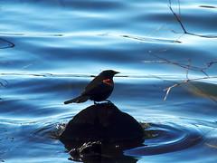 P4140011B (The Real Maverick) Tags: toronto ontario canada bird water highpark outdoor redwingblackbird grenadierpond torontoparks olympusstylus1