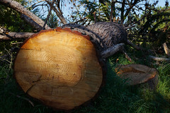 bridges_L2000178 1 (nocklebeast) Tags: ca usa santacruz pine walk stump stumps westcliff nrd scphoto
