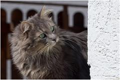 Hello neighbour ! (FocusPocus Photography) Tags: pet animal cat chat gato katze haustier kater tier fynn fynnegan